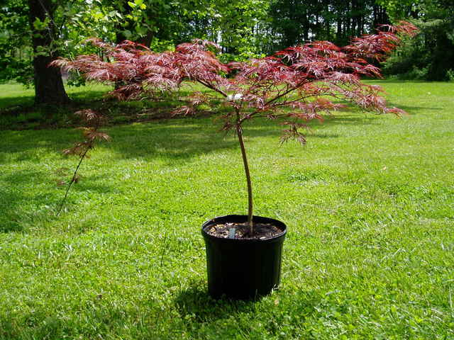 """Ever Red Japanese Maple A.p.""""ever Red Japanese Maple"""