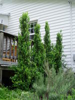 Gb_boxwood_001